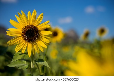 Sunflower with bluesky and mountain background