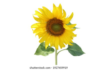 A sunflower with bright yellow petals in full bloom, raising a bouquet of sunlight.