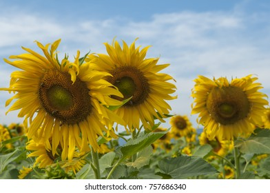 The sunflower is bright yellow in summer. The background is blue sky.(Selectiev Focus)