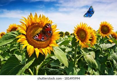 sunflower and butterflies background