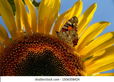 sunflower and butterfly on a sunny day