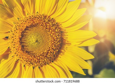 Sunflower circle big yellow flower warm stock photo edit now sunflower circle big yellow flower warm background reflective light from the sun concept of hope energy mightylinksfo