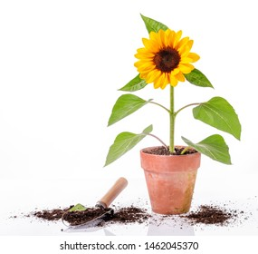 Sunflower in clay pot and tool on white background