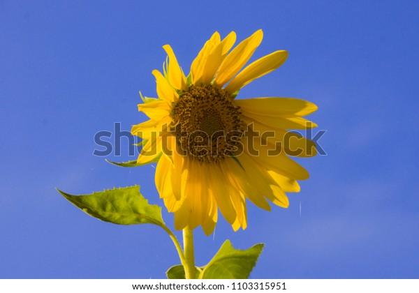 sunflower with clear sky