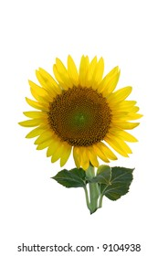 sunflower with clipping path