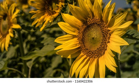 Sunflower in close up
