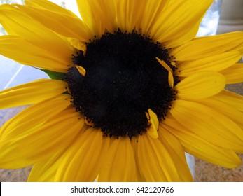 Sunflower Up Close