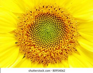 sunflower close- up