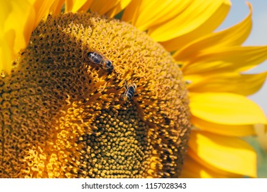Sunflower close up with bees collects nectar from flowers