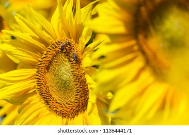 Sunflower close up with bees on eat