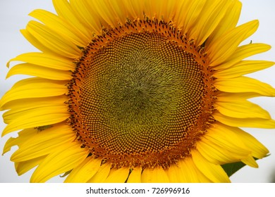 Sunflower close up at pollen and petal