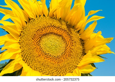 Sunflower Close Up, beautiful flower head with petal