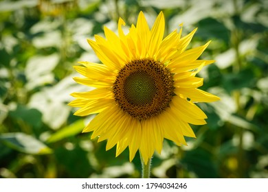 Sunflower Close Up, bright flower head in agruculture field