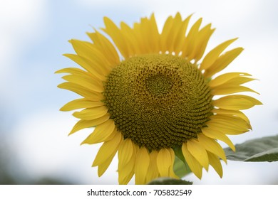 Sunflower in close-up