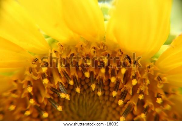 sunflower, closeup