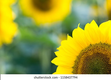 Sunflower close-up. Sunflower background. Sunflower on field background. Selective focus. Free space for text.