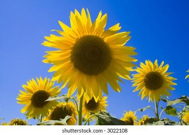 Sunflower close-up beautiful color contrast