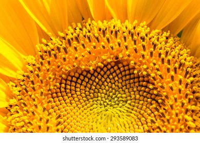 sunflower close-up with copy space