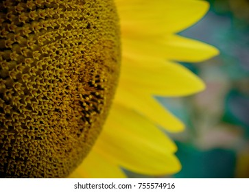 Sunflower closeup, France countryside