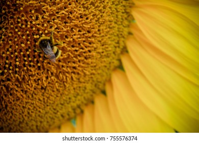 Sunflower closeup with honey bee, France countryside