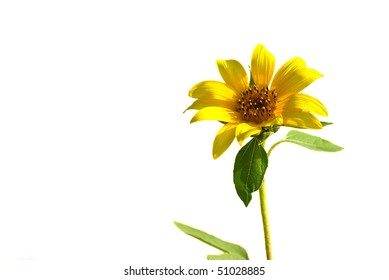 Sunflower closeup isolated on white background
