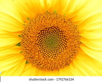 Sunflower close-up. Macro photography / textured background