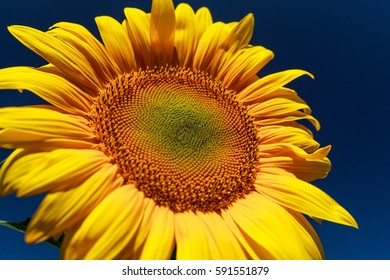 Sunflower close-up. Sunflower on a sunny day on a background of the dark blue sky