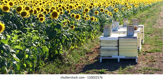 Sunflower crop and bee hives