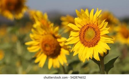 sunflower cultivation