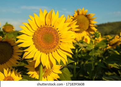 Sunflower cultivation at sunrise in the mountains of Alicante, Spain.
