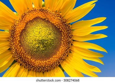 Sunflower detail 2