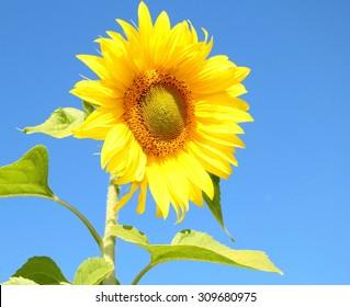 sunflower, direction of the sun.