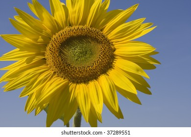 sunflower during a sunny day