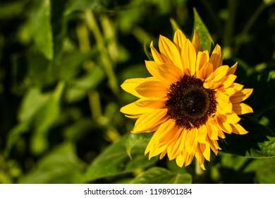 Sunflower in the evening Sun