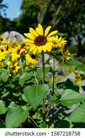 The sunflower facing the sun