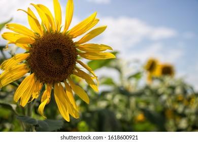 Sunflower facing the sun in a sunflower field inspiration happiness