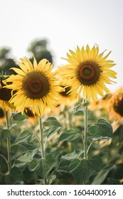 Sunflower facing a sunny and breezy in a sunflower field.nature seasonal flower of this month.