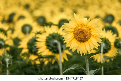 Sunflower facing the wrong way. One sunflower looking in the opposite direction.
