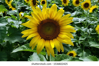 A sunflower at a fall festival.