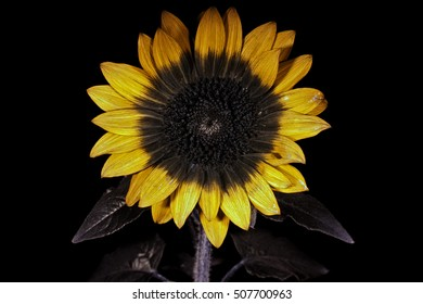 Sunflower in false-color reflected UV.