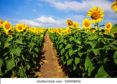 Sunflower farm with the blue sky.