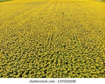 Sunflower Farm in Montrose Colorado