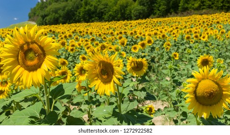 The sunflower farm in Siena Province of Tuscany
