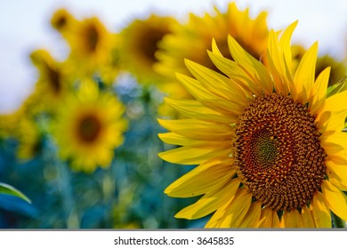 Sunflower field 03