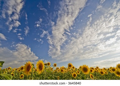 Sunflower field 05