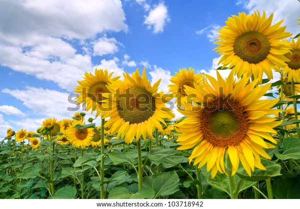 sunflower-field-600w-103718942.jpg