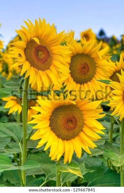 sunflower-field-600w-129667841.jpg