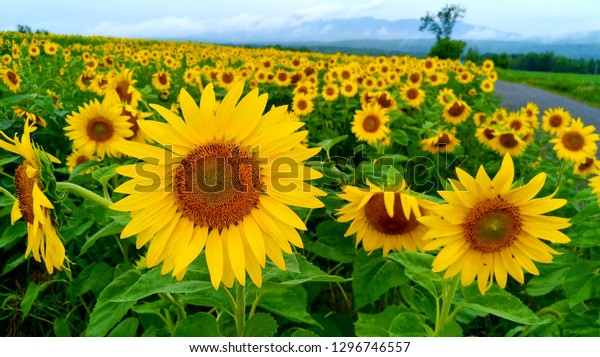 Sunflower field after the rain with mountains and tree