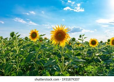 Sunflower field against blue sky on a sunny day