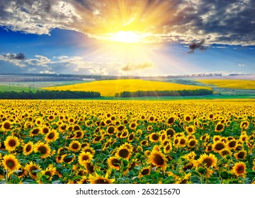 Sunflower field against the dramatic sky and a rising sun